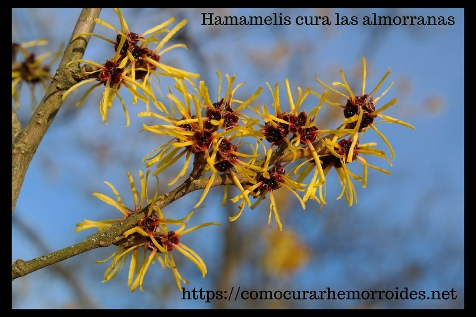 planta natural hamamelis hemorroides