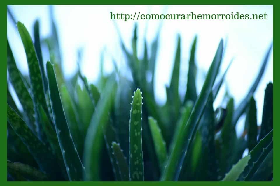 cura natural de las almorranas con aloe vera